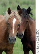 Купить «Две лошади с мухами на мордах прижались друг к другу головами», фото № 262257, снято 18 августа 2004 г. (c) Виктор Филиппович Погонцев / Фотобанк Лори