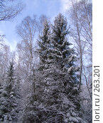 Купить «Здесь ели рвутся в небо», фото № 263201, снято 5 ноября 2007 г. (c) Вячеслав Потапов / Фотобанк Лори