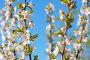 Ветки цветущей вишни, фото № 264505, снято 27 апреля 2008 г. (c) Майя Крученкова / Фотобанк Лори