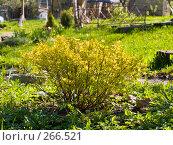 Купить «Куст таволги в саду», эксклюзивное фото № 266521, снято 27 апреля 2008 г. (c) Алина Голышева / Фотобанк Лори