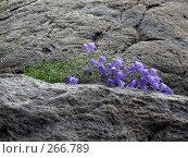 Купить «Голубые колокольчики на каменных стенах  в капельках  дождя», эксклюзивное фото № 266789, снято 15 июля 2007 г. (c) Тамара Заводскова / Фотобанк Лори