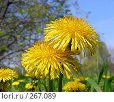 Купить «Весна. Одуванчики», эксклюзивное фото № 267089, снято 29 апреля 2008 г. (c) lana1501 / Фотобанк Лори
