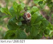 Купить «Майский жук на ветке дерева с молодыми листочками», эксклюзивное фото № 268021, снято 19 мая 2007 г. (c) Тамара Заводскова / Фотобанк Лори