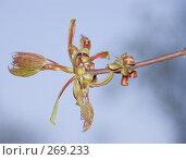 Купить «Распускающийся побег клена», фото № 269233, снято 26 апреля 2008 г. (c) Эдуард Межерицкий / Фотобанк Лори