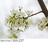 Купить «Цветущая ветка вишни», фото № 269237, снято 30 апреля 2008 г. (c) Эдуард Межерицкий / Фотобанк Лори