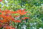 Красные листья китайского клена, фото № 269725, снято 23 апреля 2008 г. (c) ММ / Фотобанк Лори