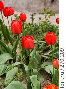 Купить «Тюльпаны в саду», фото № 270209, снято 16 апреля 2008 г. (c) Сергей Осипов / Фотобанк Лори