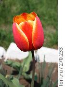 Купить «Желто-красный тюльпан», фото № 270233, снято 1 мая 2006 г. (c) Сергей Осипов / Фотобанк Лори