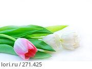 Купить «Красивые нежные тюльпаны на белом фоне», фото № 271425, снято 1 марта 2008 г. (c) Вероника Галкина / Фотобанк Лори