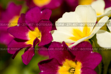 Купить «Примула», фото № 271457, снято 3 мая 2008 г. (c) Розе Андрей / Фотобанк Лори