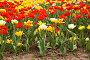 Цветущие разноцветные тюльпаны, фото № 271881, снято 2 мая 2008 г. (c) Светлана Силецкая / Фотобанк Лори