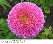Купить «Астра однолетняя - Callistephus», фото № 272437, снято 26 августа 2007 г. (c) Беляева Наталья / Фотобанк Лори