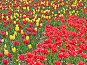 Красные и желтые тюльпаны, фото № 272633, снято 5 мая 2008 г. (c) Галина Щеглова / Фотобанк Лори