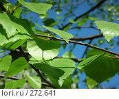 Купить «Зеленые листочки», фото № 272641, снято 3 мая 2008 г. (c) Анна Финютина / Фотобанк Лори