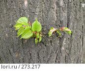 Купить «Молодые веточки на стволе дерева», фото № 273217, снято 1 мая 2008 г. (c) Заноза-Ру / Фотобанк Лори