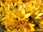 Крокус весенний Mammoth Yellow - Crocus vernus, фото № 274501, снято 12 мая 2007 г. (c) Беляева Наталья / Фотобанк Лори