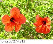 Купить «Цветущий гибискус», фото № 274813, снято 1 января 2003 г. (c) Юлия Дашкова / Фотобанк Лори