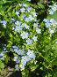 Незабудка болотная - Myosotis palustris, фото № 276033, снято 27 июня 2006 г. (c) Беляева Наталья / Фотобанк Лори