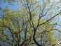 Ветви цветущего клена на фоне неба, фото № 276353, снято 2 мая 2008 г. (c) Заноза-Ру / Фотобанк Лори