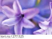 Купить «Весеннее растение, гиацинт», фото № 277525, снято 25 апреля 2008 г. (c) Евгений Захаров / Фотобанк Лори