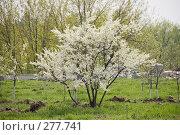 Купить «Цветущее вишневое дерево», фото № 277741, снято 2 мая 2008 г. (c) Эдуард Межерицкий / Фотобанк Лори