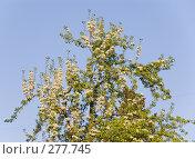 Купить «Цветущая яблоня», фото № 277745, снято 3 мая 2008 г. (c) Эдуард Межерицкий / Фотобанк Лори