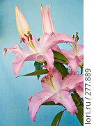 Купить «Цветок лилии», фото № 277889, снято 9 мая 2008 г. (c) Светлана Силецкая / Фотобанк Лори
