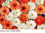 Купить «Герберы», фото № 278493, снято 26 марта 2019 г. (c) Роман Сигаев / Фотобанк Лори