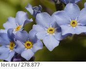 Купить «Цветки незабудки крупным планом», фото № 278877, снято 9 мая 2008 г. (c) Андрей Ерофеев / Фотобанк Лори