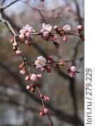 Купить «Цветущая сакура», фото № 279229, снято 5 мая 2008 г. (c) kate / Фотобанк Лори