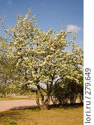 Купить «Цветущее грушевое дерево», фото № 279649, снято 10 мая 2008 г. (c) Сергей Васильев / Фотобанк Лори