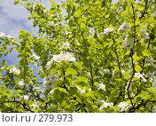 Купить «Груша цветет», фото № 279973, снято 2 мая 2008 г. (c) Вячеслав Потапов / Фотобанк Лори