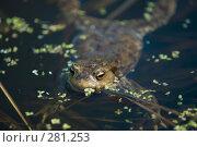 Купить «Выглядывающая из воды лягушка», фото № 281253, снято 1 мая 2008 г. (c) Малышева Мария / Фотобанк Лори