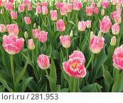 Купить «Розовые тюльпаны», фото № 281953, снято 27 апреля 2008 г. (c) Мария Коробкина / Фотобанк Лори