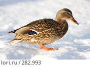 Купить «Утка», фото № 282993, снято 27 января 2008 г. (c) Тимофей Косачев / Фотобанк Лори