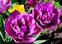 Махровые тюльпаны, фото № 284393, снято 12 мая 2008 г. (c) Алёшина Оксана / Фотобанк Лори