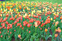 Тюльпаны, фото № 284637, снято 10 мая 2008 г. (c) Asja Sirova / Фотобанк Лори