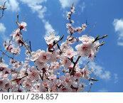 Купить «Цветет дикий даурский абрикос», фото № 284857, снято 14 мая 2008 г. (c) Геннадий Соловьев / Фотобанк Лори