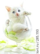 Купить «Котенок в бокале для вина», фото № 285193, снято 28 апреля 2007 г. (c) Андрей Армягов / Фотобанк Лори