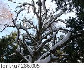 Сухое дерево в зимнем лесу. Стоковое фото, фотограф Комоедова Зоя Николаевна / Фотобанк Лори