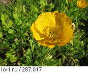 Купить «Мак голостебельный (исландский мак) желтый - Papaver nudicaule», фото № 287017, снято 7 июля 2007 г. (c) Беляева Наталья / Фотобанк Лори