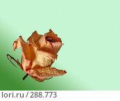 Купить «Сухая роза. Обтравленная», фото № 288773, снято 23 сентября 2018 г. (c) Маргарита Лир / Фотобанк Лори