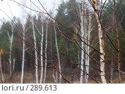 Купить «Березы глубокой осенью», фото № 289613, снято 27 октября 2007 г. (c) Сергей Сынтин / Фотобанк Лори