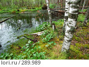 Купить «Березы на краю болота», фото № 289989, снято 30 июня 2007 г. (c) Сергей Сынтин / Фотобанк Лори