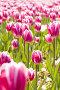 Тюльпаны, фото № 290649, снято 18 мая 2008 г. (c) Угоренков Александр / Фотобанк Лори