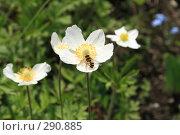 Купить «Пчела на цветке», фото № 290885, снято 11 мая 2008 г. (c) Игорь Романов / Фотобанк Лори
