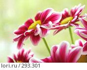 Купить «Красивые весенние цветы», фото № 293301, снято 1 мая 2008 г. (c) Вероника Галкина / Фотобанк Лори