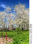 Купить «Вишневый сад», фото № 293509, снято 9 мая 2008 г. (c) Евгений Захаров / Фотобанк Лори
