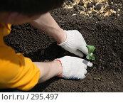 Купить «Мужчина сажает капусту в землю», эксклюзивное фото № 295497, снято 18 мая 2008 г. (c) Juliya Shumskaya / Blue Bear Studio / Фотобанк Лори