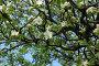 Яблоня в цвету, фото № 296041, снято 10 мая 2008 г. (c) Абдурагимова Наталия / Фотобанк Лори